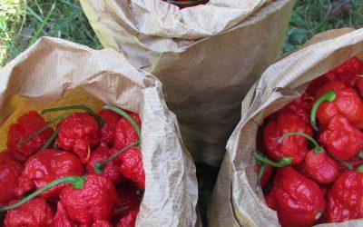 Chili Alarm – Erntezeit